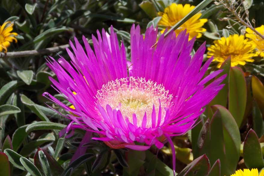 Blume Toskana